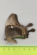 Papilio palinurus daedalus F A1/A1- Marinduque, Phillipines