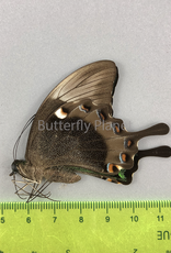 Papilio palinurus daedalus M A1 Marinduque, Phillipines