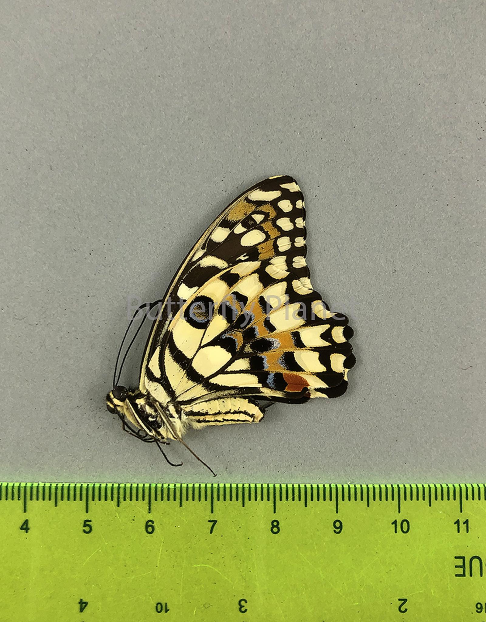 Papilio demoleus libanius M A1 Marinduque, Philippines