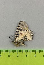 Zerynthia (Allancastria) deyrollei  M A1- Turkey
