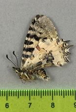 Zerynthia (Allancastria) deyrollei  M A1/A1- Turkey