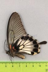Papilio lowi suffusa F A1 Marinduque, Philippines