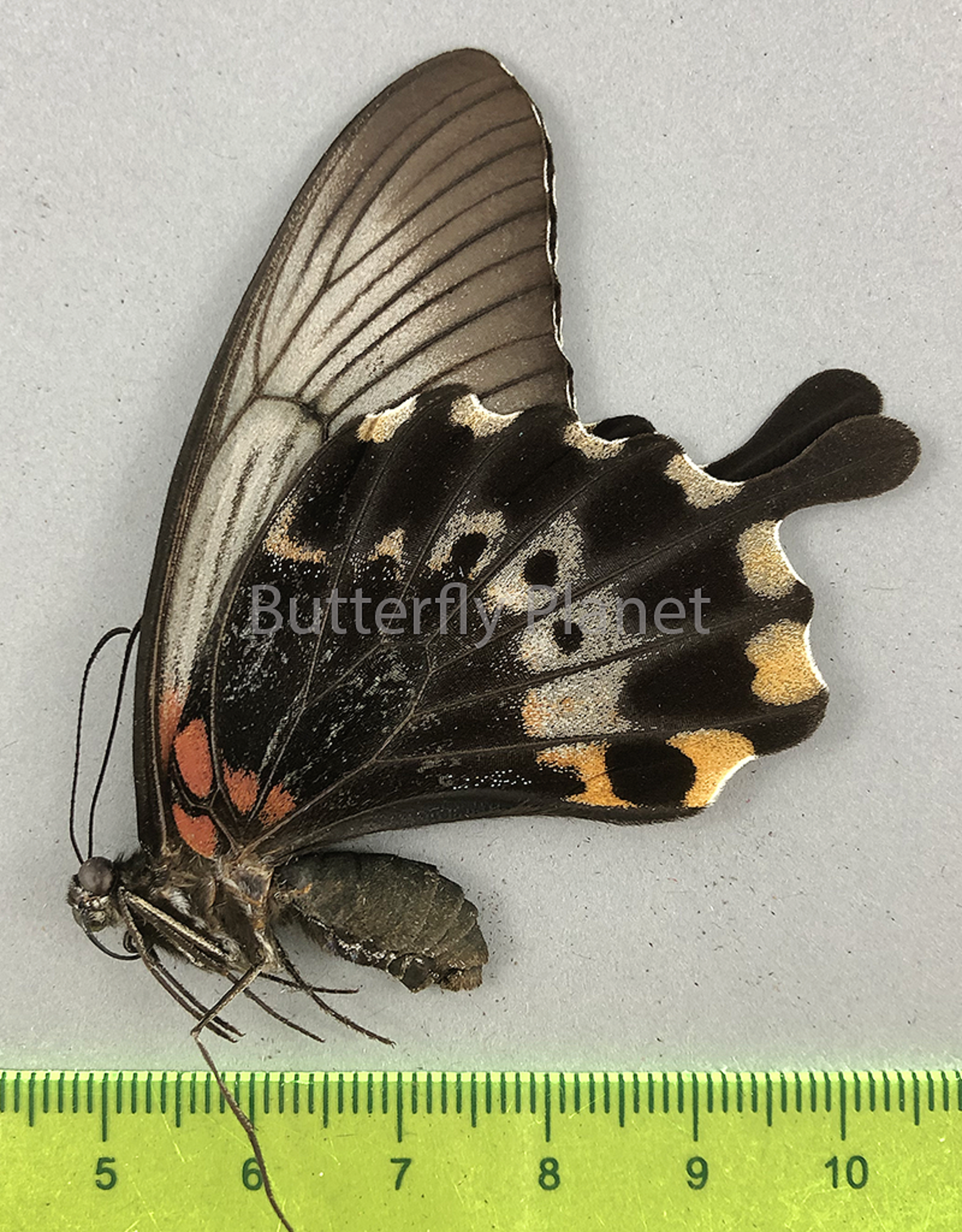Papilio lowi suffusa F A1/A1- Marinduque, Philippines
