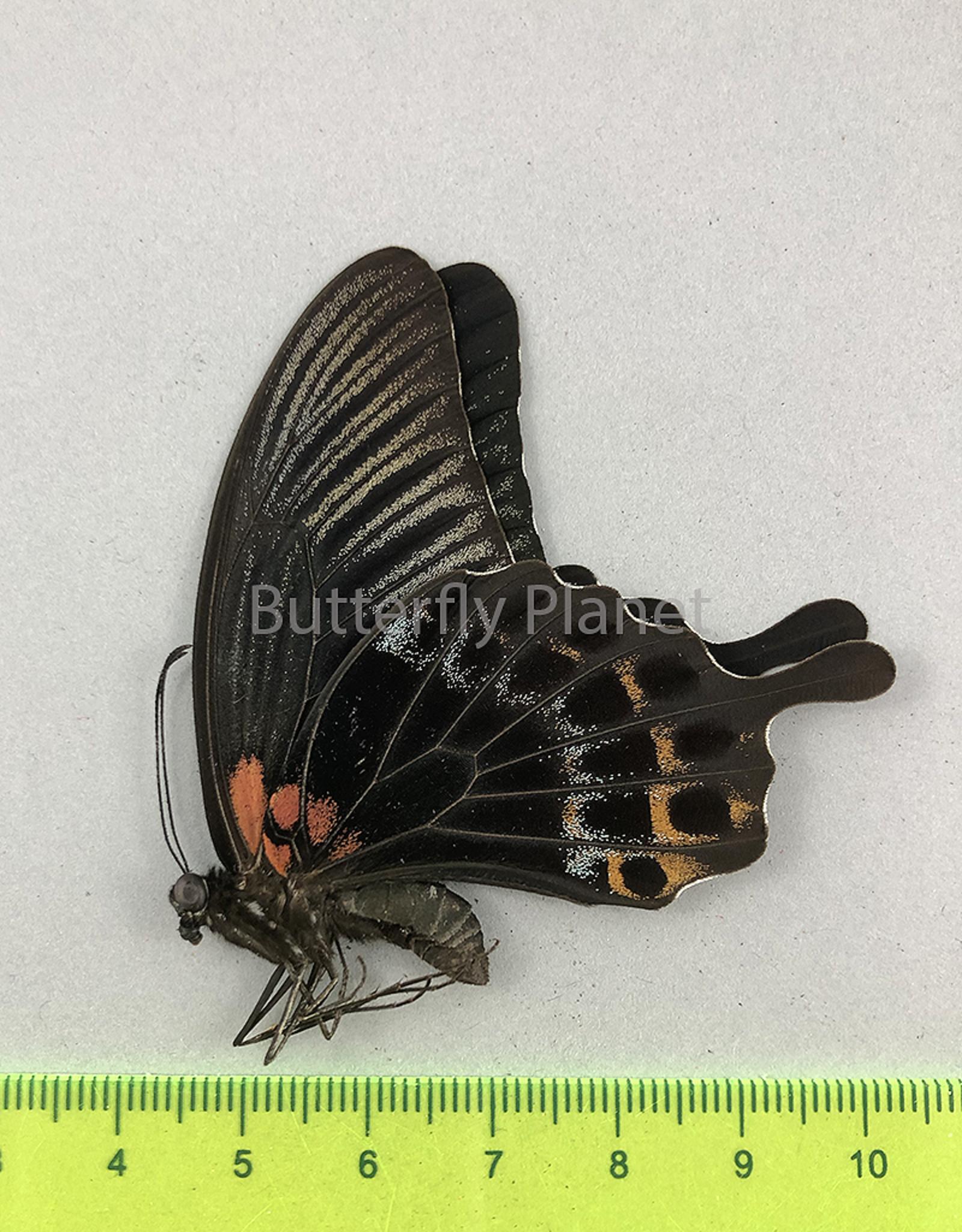 Papilio lowi suffusa M A1 Marinduque, Philippines