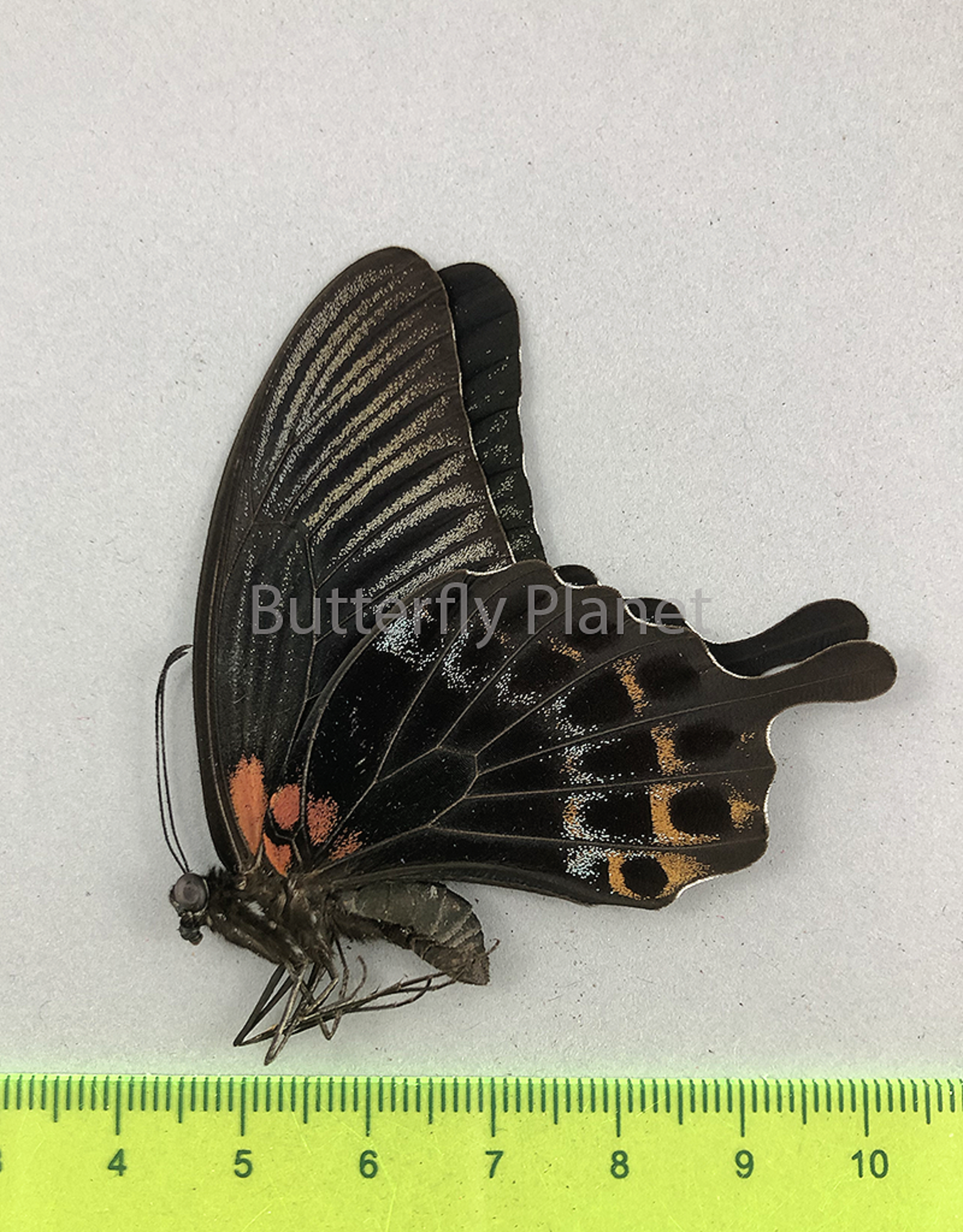 Papilio lowi suffusa M A1/A1- Marinduque, Philippines