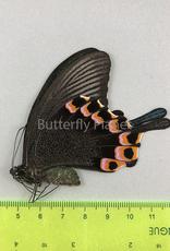 Papilio hermeli F A1 Mindoro Isl., Philippines