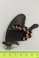 Papilio hermeli M A1 Mindoro Isl., Philippines