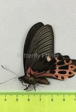 Papilio taiwanus M A1 Taiwan