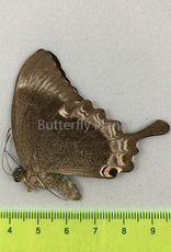 Papilio crino M A1/A1- Sri Lanka
