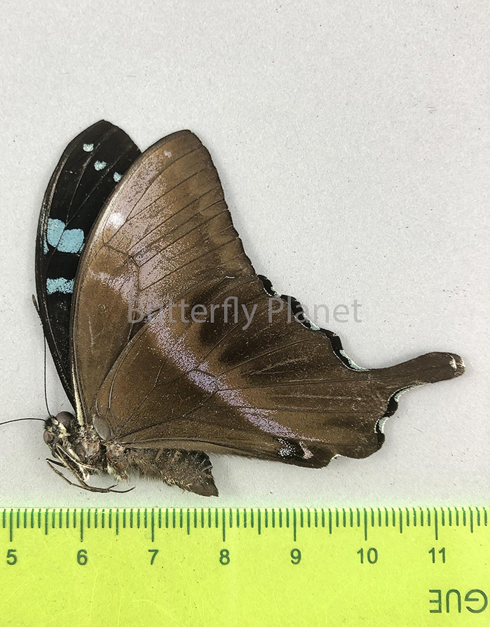 Papilio mangoura M A1 Madagascar