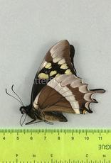 Papilio warscewiczii ssp.? M A1 Huanuco, Peru