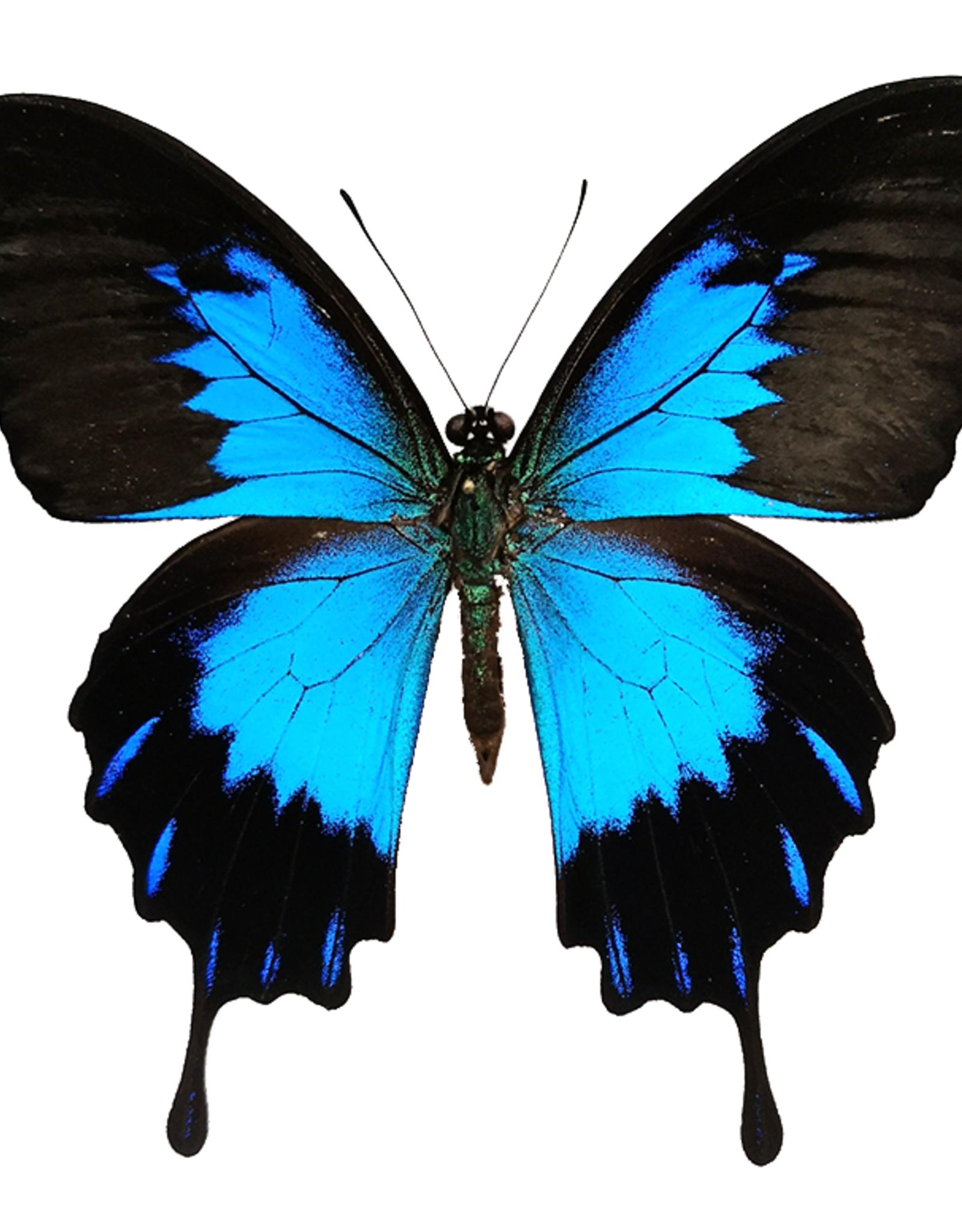 Papilio ulysses telegonus M A1 Indonesia Bachan Isl.