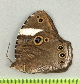 Melanitis anabilis valentina F A1- South Bougainville, PNG