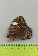 Melanitis anabilis valentina M A1- South Bougainville, PNG