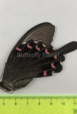 Papilio bianor coreanus M A1/A1- South Korea