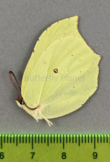 Gonepteryx rhamni F A1 South Korea