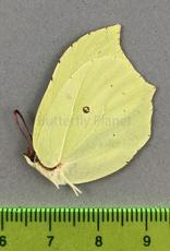 Gonepteryx rhamni F A1/A1- South Korea