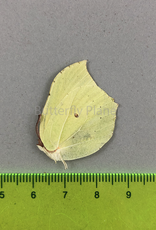 Gonepteryx rhamni M A1 South Korea
