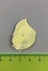 Gonepteryx rhamni M A1/A1- South Korea