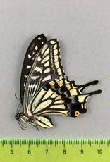 Papilio xuthus F A1 South Korea