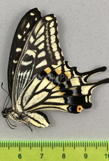 Papilio xuthus F A1/A1- South Korea