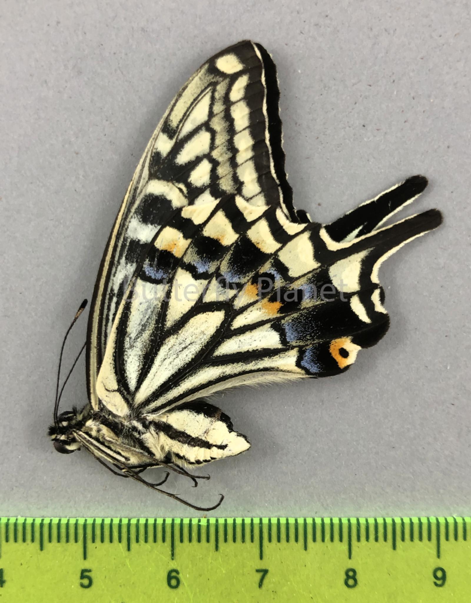Papilio xuthus M A1 South Korea
