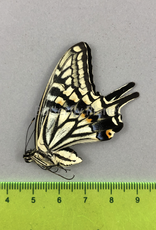 Papilio xuthus M A1/A1- South Korea