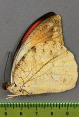 Hebomoia glaucippe celebensis M A1 Indonesia
