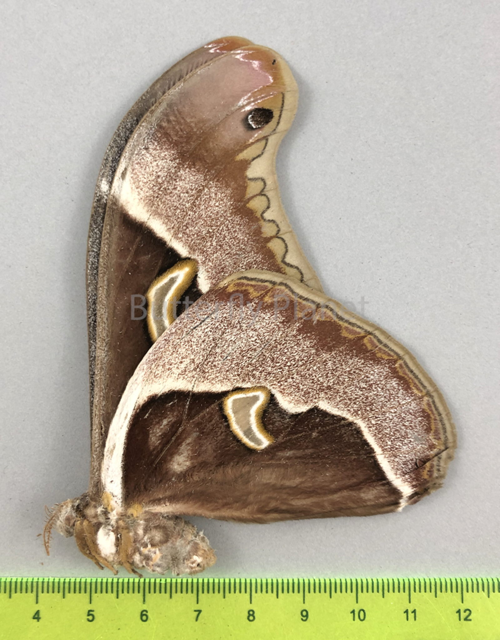 Epiphora aequatorialis F A1- Cameroon