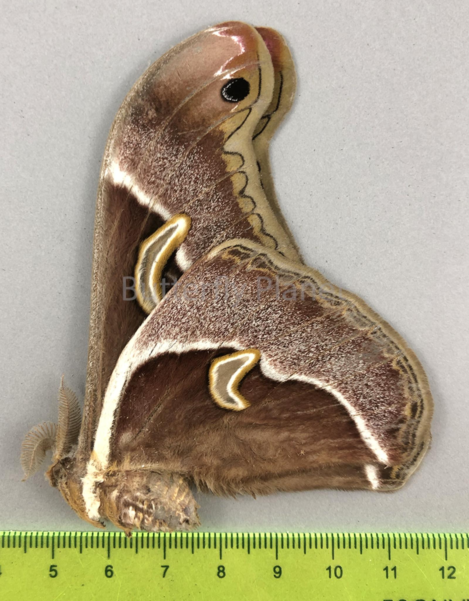 Epiphora aequatorialis M A1- Cameroon