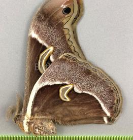 Epiphora aequatorialis M A1/A1- Cameroon