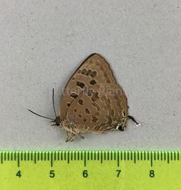 Arhopola anthelus jabadia M A1 W. Java, Indonesia