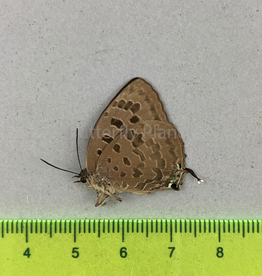 Arhopola anthelus jabadia M A1- W. Java, Indonesia