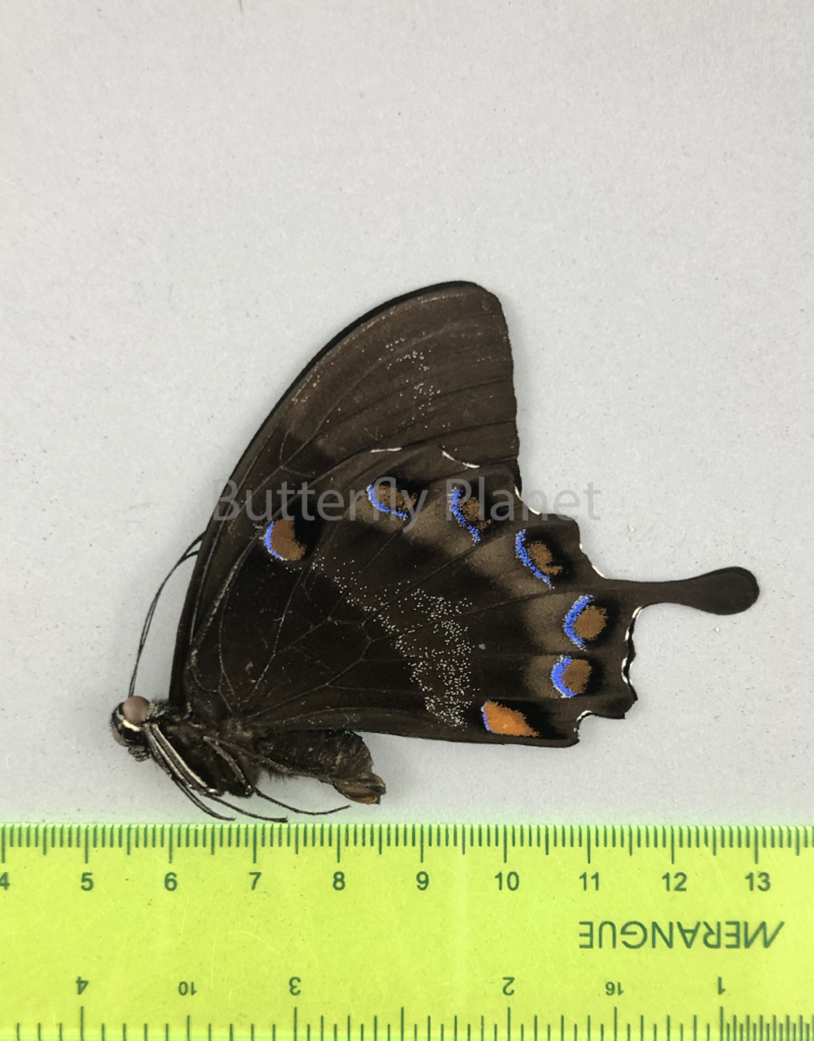 Papilio ulysses nigerrimus M A1 S. Bougainville, PNG