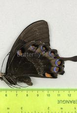 Papilio ulysses nigerrimus M A1- S. Bougainville, PNG