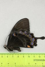Papilio ulysses nigerrimus M A1/A1- S. Bougainville, PNG