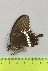 Papilio polytes f. romulus M A1/A1- Sri Lanka