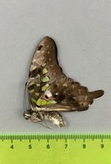 Graphium agamemnon menides M A1- Sri Lanka