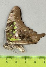 Graphium agamemnon menides M A1/A1- Sri Lanka