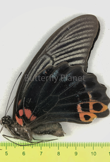 Papilio protenor euprotenor M A1 Sichuan, China