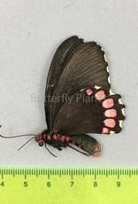 Parides erithalion polyzelus F A1/A1- Puebla State, Mexico
