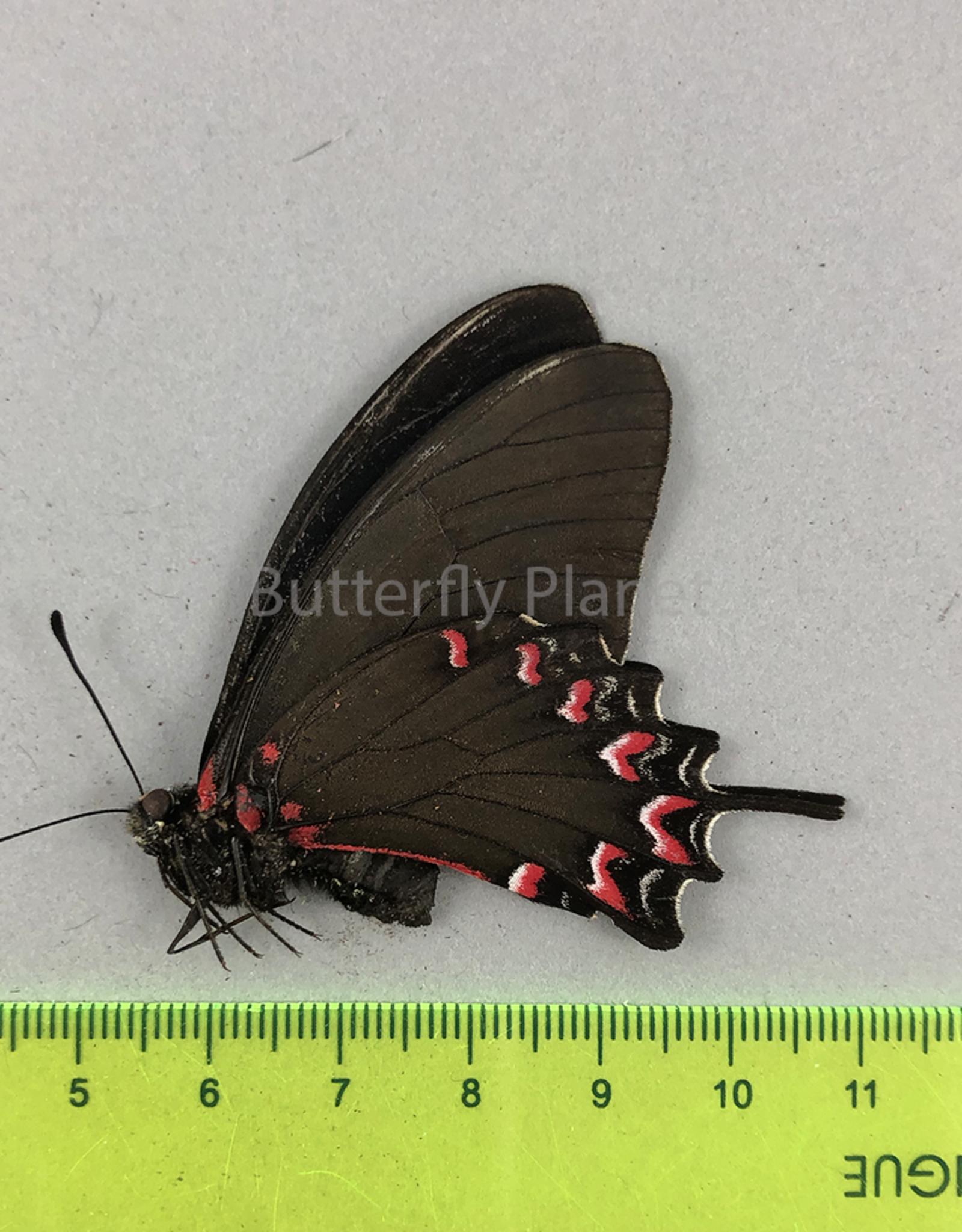 Protesilaus thymbraeus aconophos M A1- Puebla State, Mexico