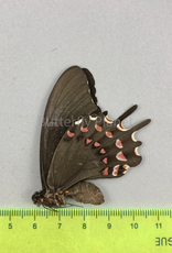 Protesilaus thymbraeus aconophos F A1- Puebla State, Mexico