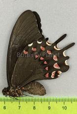 Protesilaus thymbraeus aconophos F A1/A1- Puebla State, Mexico