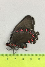 Parides photinus F A1 Puebla State, Mexico