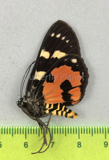 Episteme bisma ssp.? M A1 Java, Indonesia