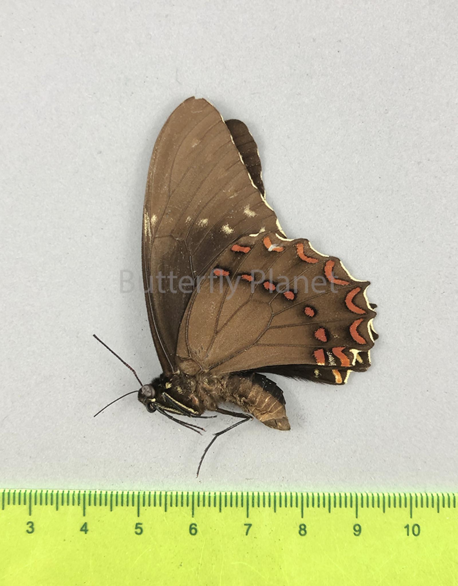 Pterourus victorinus victorinus  M A1- Morelos State, Mexico