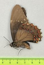 Pterourus victorinus victorinus  M A1/A1- Morelos State, Mexico