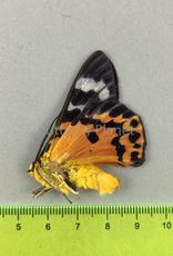 Dysphania cuprina M A1 N. Sumatra, Indonesia