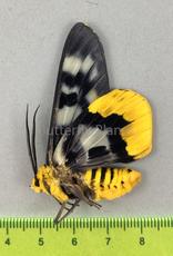Dysphania numana ssp? M A1 Kei Island, Indonesia